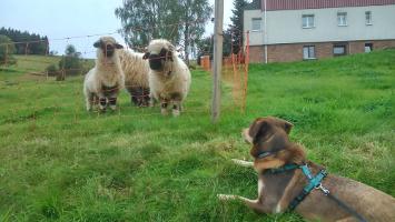walliser schwarznasenschafe und Hund